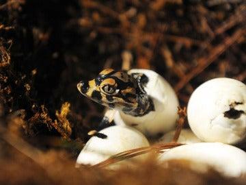Crías de cocodrilos de agua dulce.
