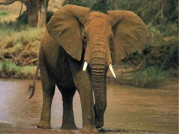 La caza furtiva reduce los ejemplares de elefantes africanos