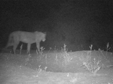 Uno de los leones de una población desconocida en una reserva de Etiopía