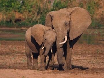 Una pareja de elefantes