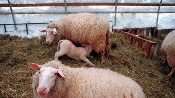 Varias ovejas en una granja