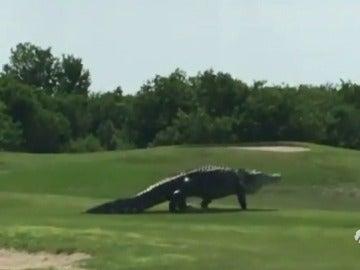Un cocodrilo gigante sorprende a unos jugadores de golf en Florida
