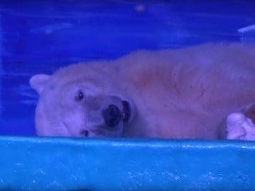 El oso polar más triste del mundo vive en China