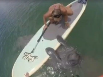 Un manatí aborda a una chica que practibaba paddlesurf en Florida