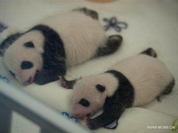 Gemelos panda