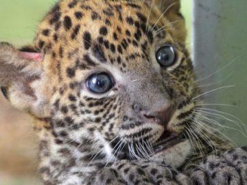 Cría de leopardo en el Bioparc de Valencia