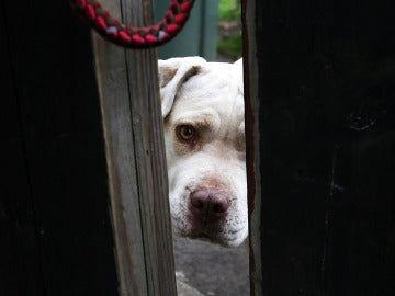 Un pit bull mira por detrás de la puerta