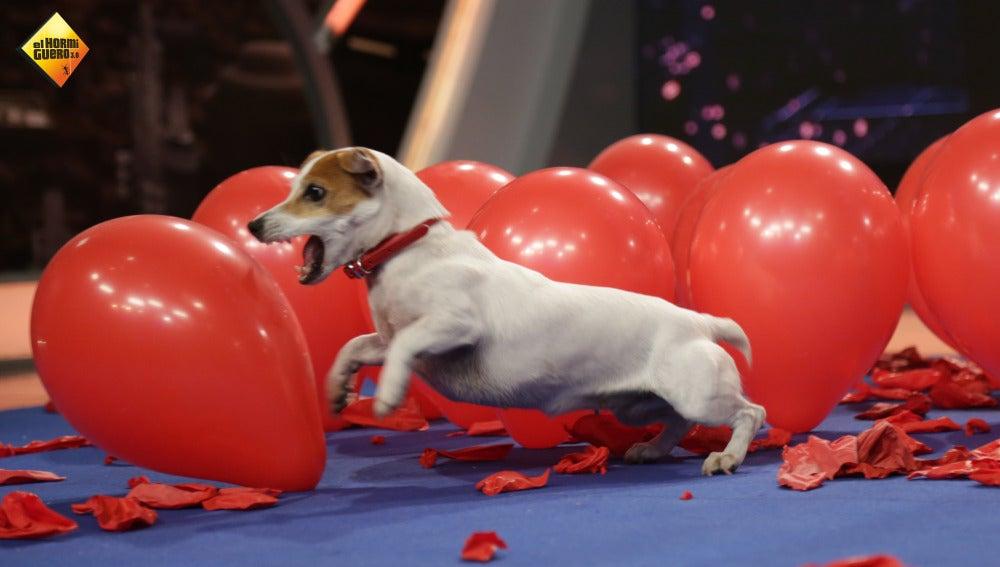 Twinkie, el perro que logra explotar 100 globos en menos de un minuto