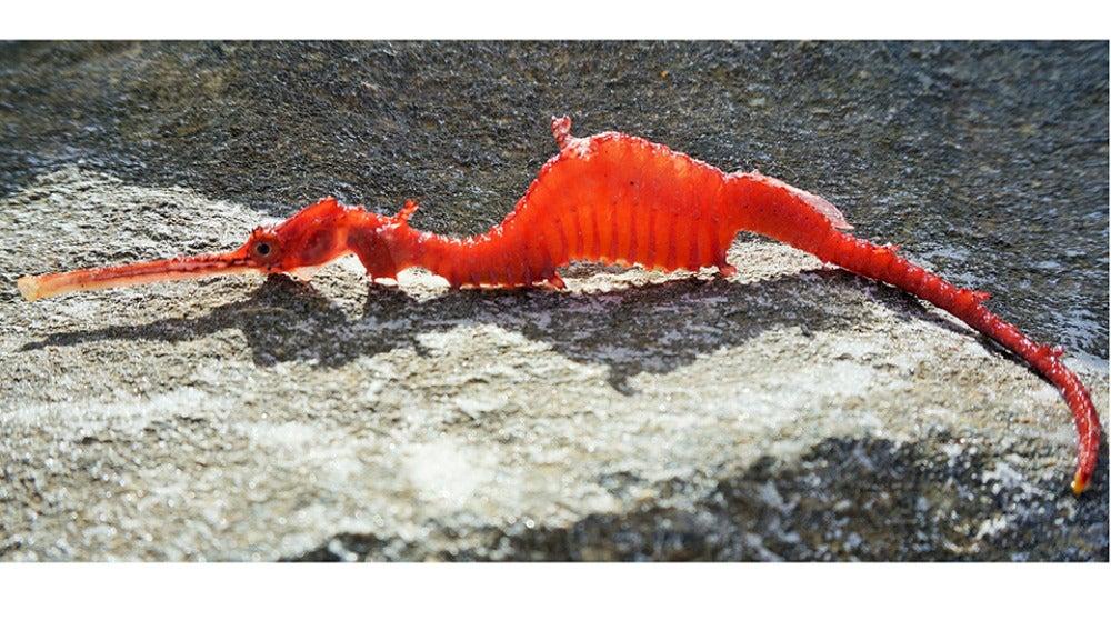 Ejemplar de dragón marino