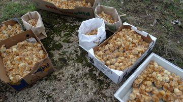 Los polluelos rescatados