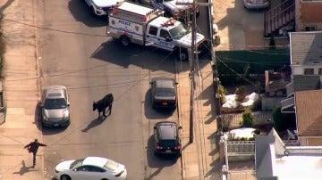 """Frame 32.895975 de: Un toro se escapa del matadero y """"torea"""" a numerosos agentes por un barrio neoyorquino"""