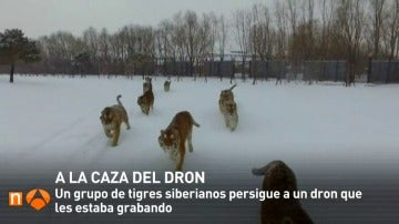 Frame 5.461333 de: Un grupo de tigres siberianos cazan a un dron que les estaba grabando