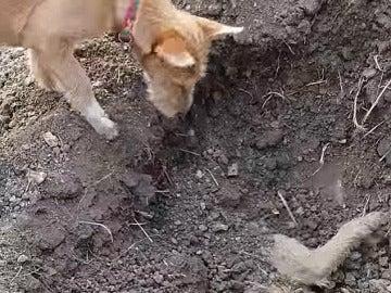 Un perro entierra a su hermano atropellado