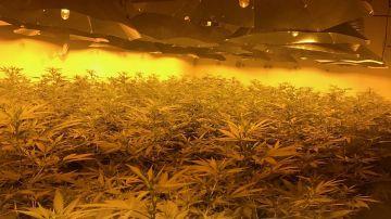 Macrohuerto con cultivos de marihuana en Reino Unido