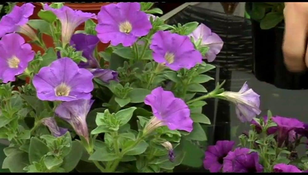 La Petunia,  la mejor planta colgante