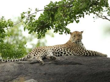 Un leopardo en Sudáfrica