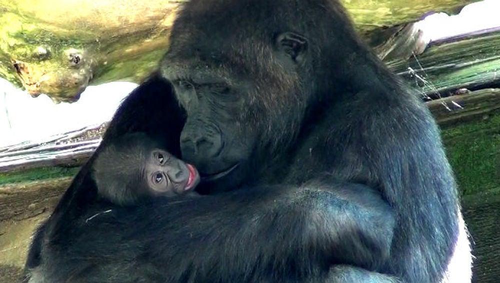 Nace una nueva cría de gorila en el Zoo de Barcelona