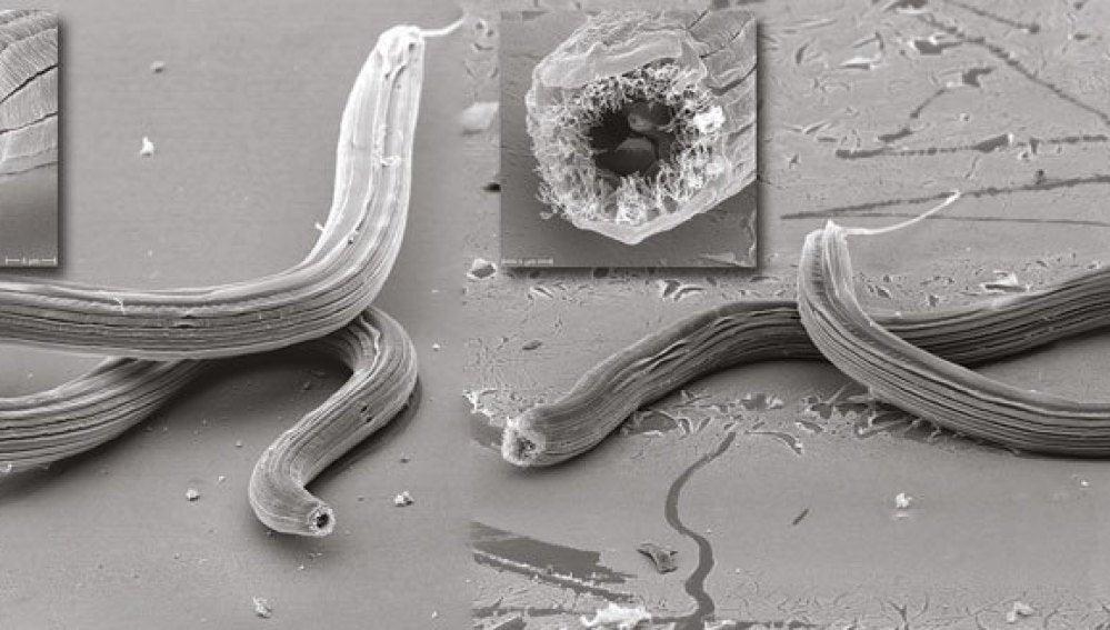Dos de las especies de gusanos descubiertas en Isla Reunión