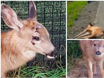 Cría de ciervo rescatada