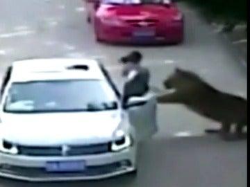Varios tigres matan a una mujer y hieren a otra en un safari en Pekín