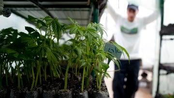 Plantación de marihuana en un espacio interior.