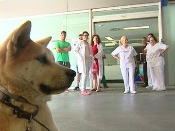 Un perro hace guardia en el hospital de Elda mientras espera por su dueña operada de urgencia