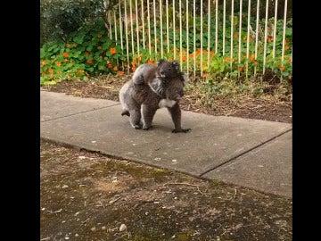 La mamá koala lleva a pasear a su bebé