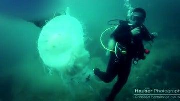 Hallan una medusa gigante en aguas del Puerto Vallarta