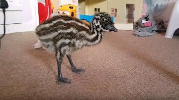 El emú deambulando por la casa
