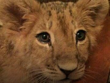 El león que ahora busca hogar