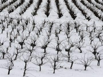 Vista de un campo de viñas en Requena (Valencia) cubierto de nieve