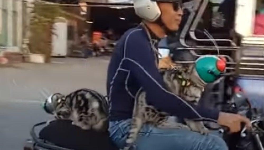 Los dos felinos y su dueño