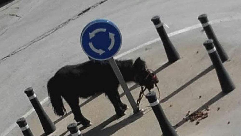 El poni atado en la rotonda