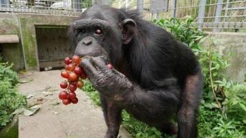 Kanako, la chimpancé con síndrome de Down