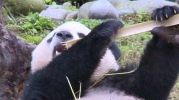 Frame 4.307592 de: El panda gigante Bao Bao comienza su nueva vida en China sin problemas