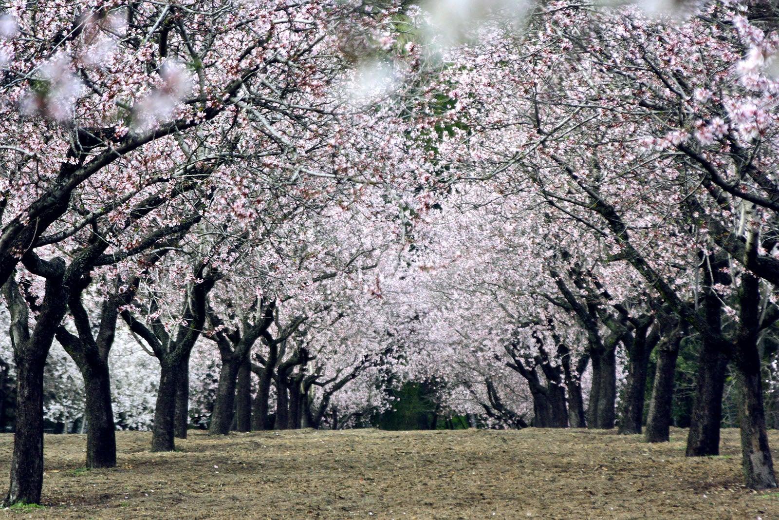 Los almendros de la Quinta de los Molinos florecen antes de tiempo