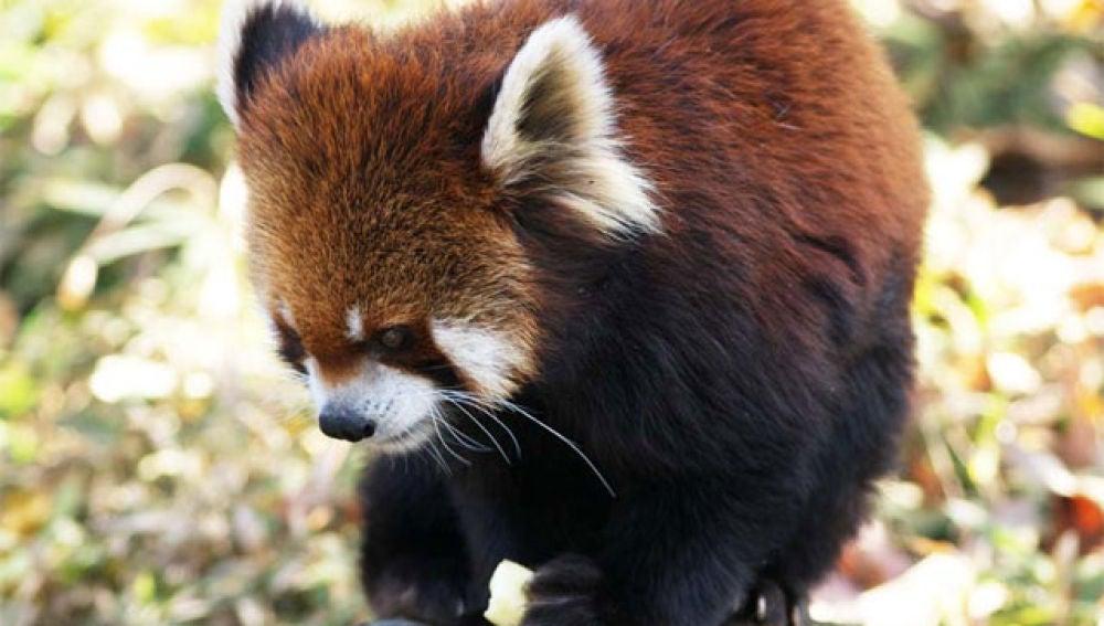 Los osos panda rojos de China
