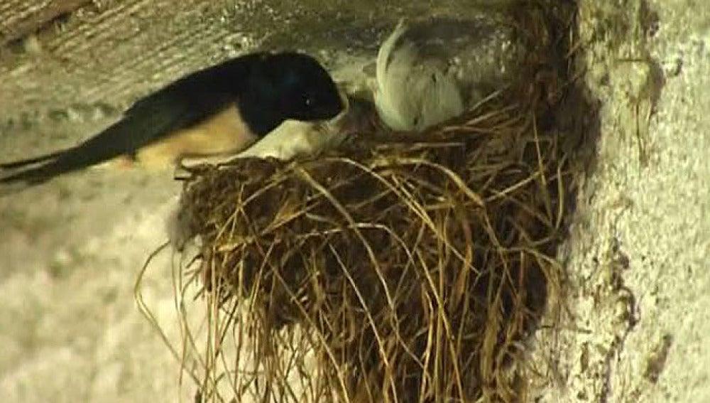 El frío mata a las golondrinas