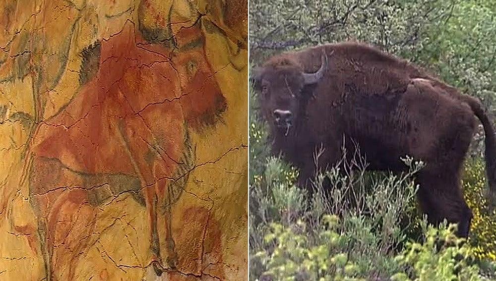 Los bisontes regresan a España