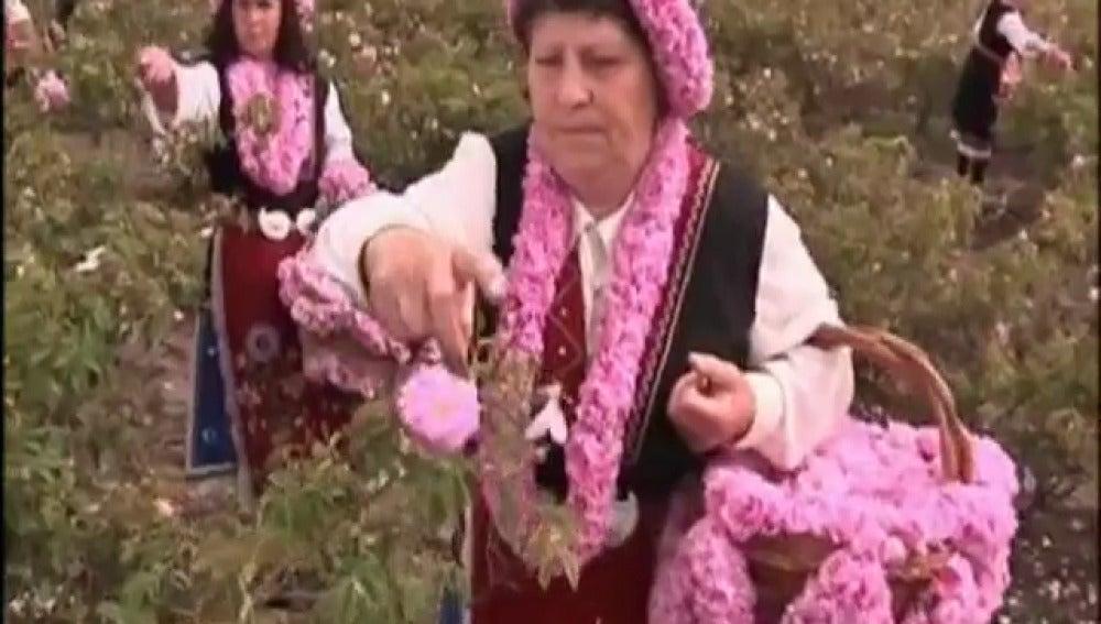 Recogida de la rosa en Bulgaria