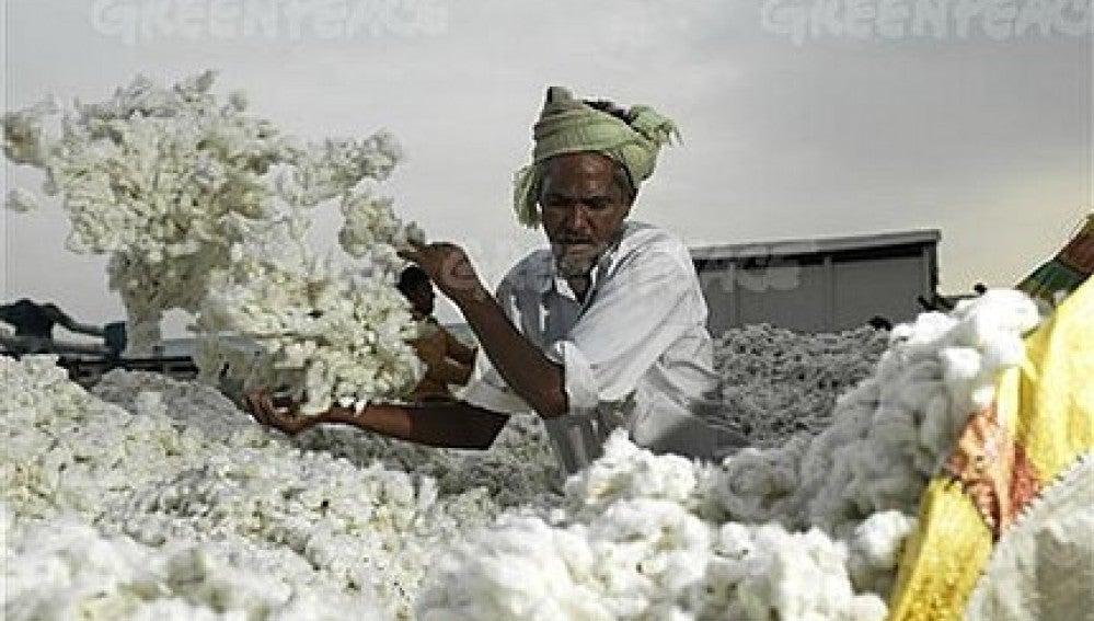 Algodón en la India