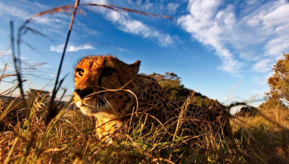 Un guepardo se camufla entre la hierba