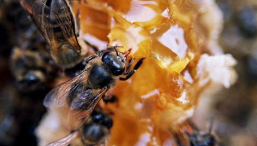 Las abejas están en extinción