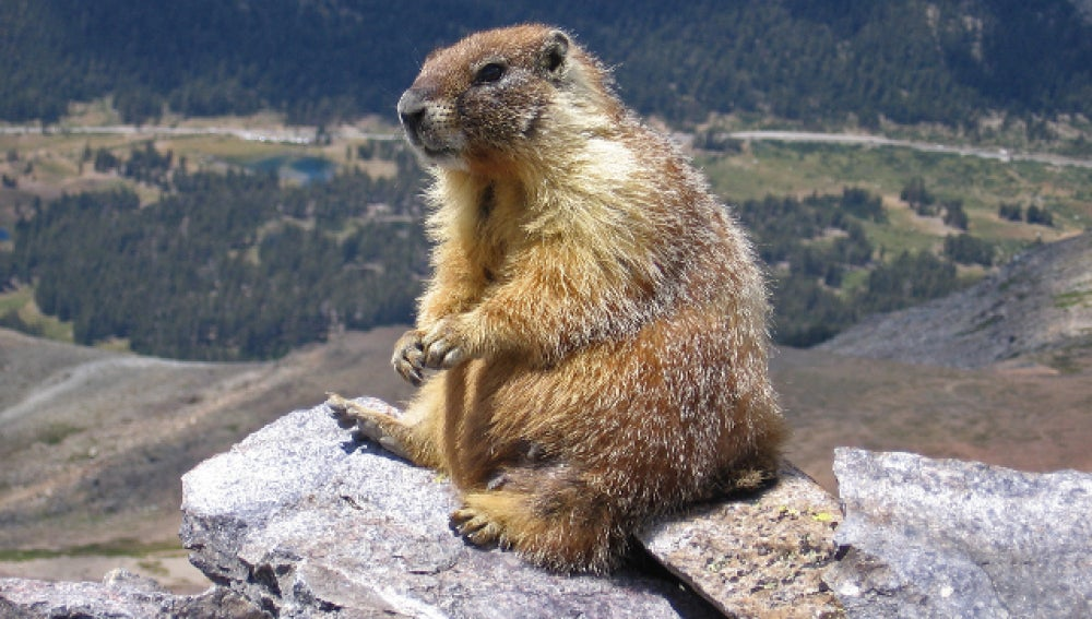 Marmota de las Montañas Rocosas