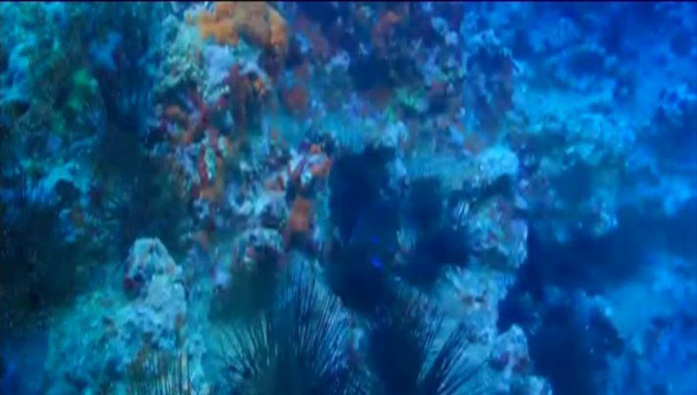 Científicos canarios descubren coral de fuego en aguas de Tenerife
