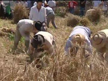 Los Realejos, en Tenerife, recupera la siega de trigo y cebada como antaño