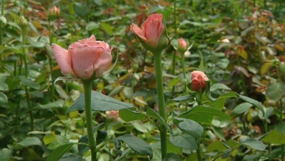 Plagas en cosechas de rosas