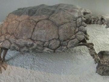 Esqueleto de una tortuga gigante de la especie Meiolania