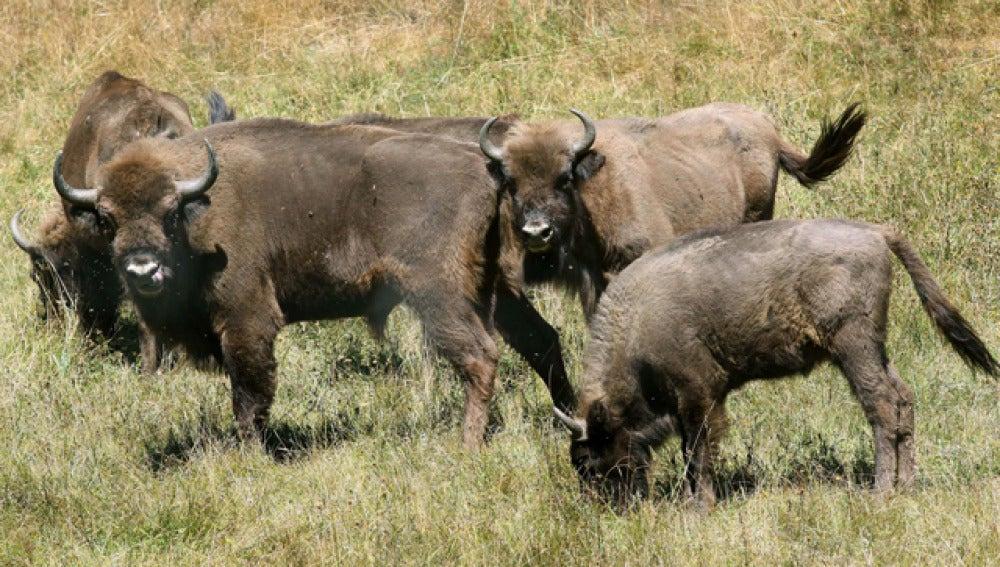 Nace el primer bisonte en mil años en España