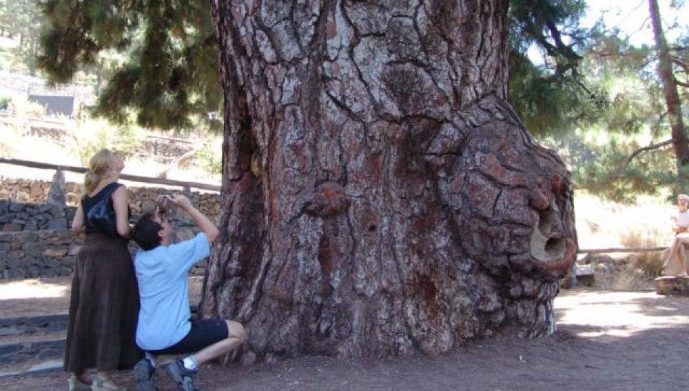 Los árboles más altos de España